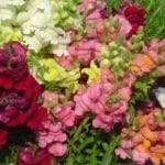 Seed, Snapdragon, Sonnet Mix