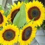Seed, Sunflower, Sunbright