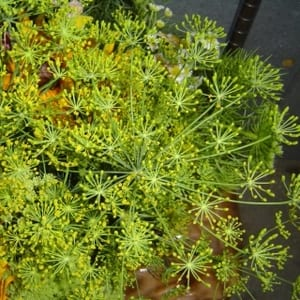 Seed, Dill, Bouquet