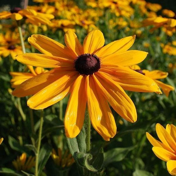 Seed, Rudbeckia, Indian Summer