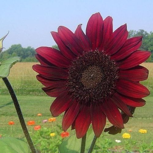 Seed, Sunflower, Moulin Rouge