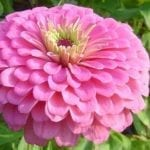 Seed, Zinnia, Benary's Giants Pink
