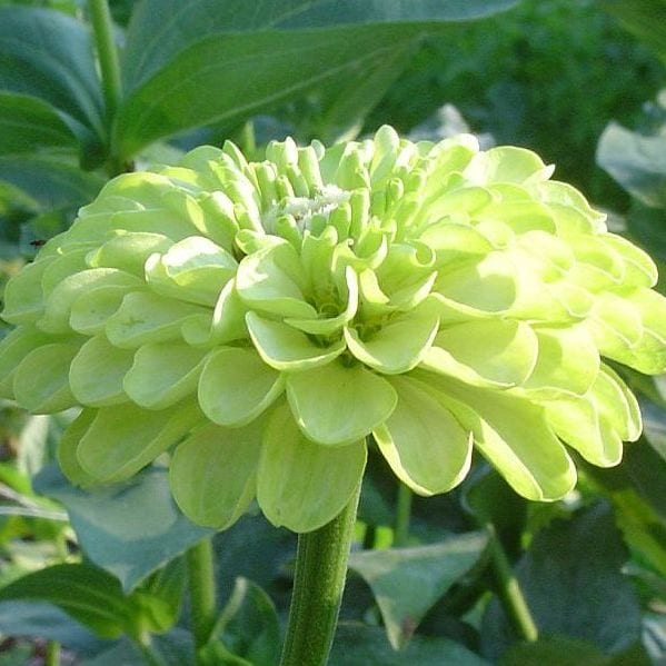Seed, Zinnia, Benary's Lime Green