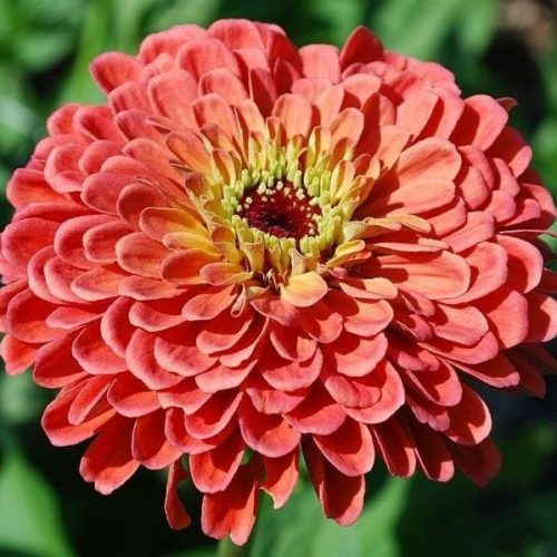 Seed, Zinnia, Benary's Giants Salmon Rose