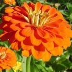 Seed, Zinnia, Benary's Giants Orange
