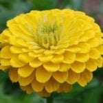 Seed, Zinnia, Benary's Giants Yellow
