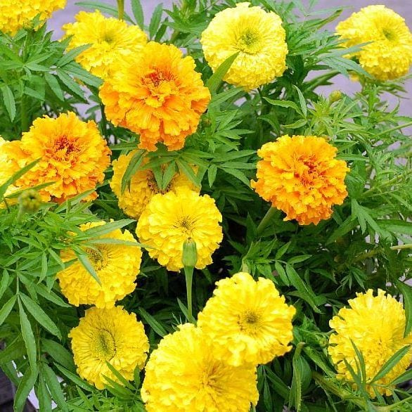 Seed, Marigolds, Super Giant