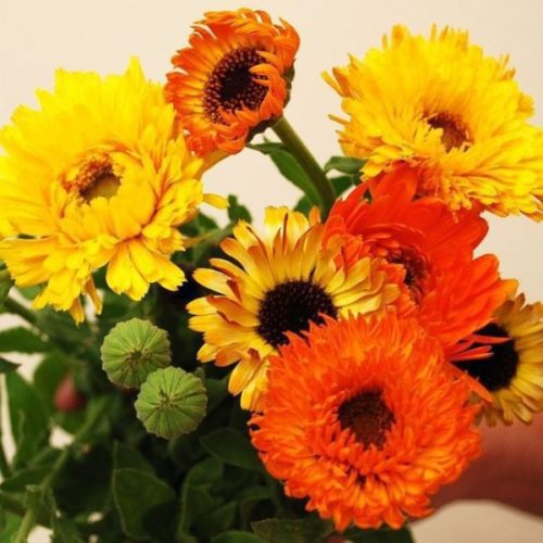 Seed, Pot Marigold 'Pacific Beauties Mix' Calendula