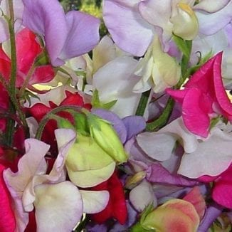 Seed, Sweet Pea Vine, Royal Mix
