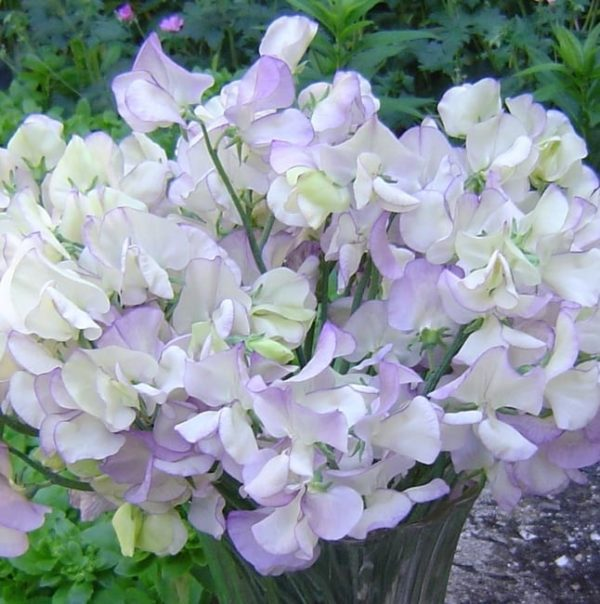 Seed, Sweet Pea Vine, High Scent