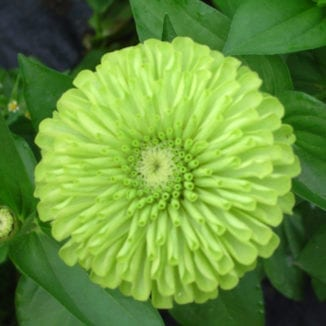 Seed, Zinnia, Queen Lime Green