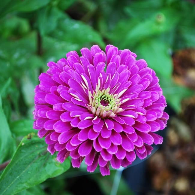 Seed, Zinnia, Benary's Giants Lilac