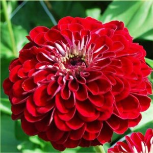 Seed, Zinnia, Benary's Giants Deep Red