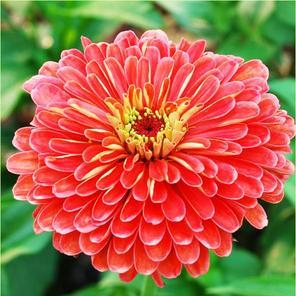 Seed, Zinnia, Benary's Giants Coral