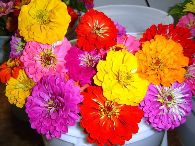 Seed, Zinnia, Benary's Giants Mix