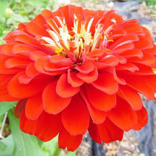 Seed, Zinnia, Benary's Giants Scarlet Red