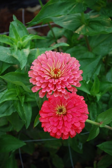 Seed, Zinnia, Benary's Giants Carmine Rose