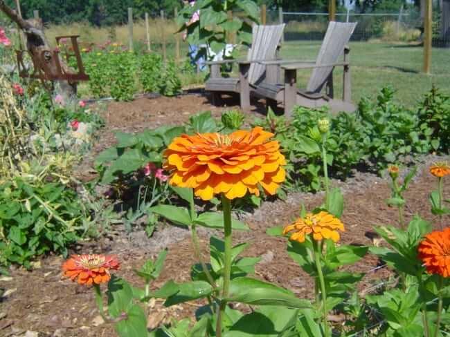 Seed, Zinnia, Benary's Giants Orange