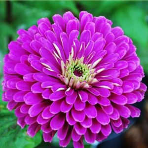 Seed, Zinnia, Benary's Giants Purple