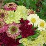 Seed, Zinnia, Queen Red Lime