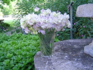 High Scent Sweet Peas