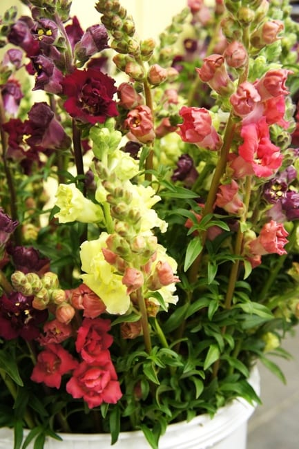 Seed, Snapdragon, Madame Butterfly