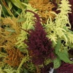 Seed, Amaranth Autumn Mix