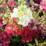 Madame Butterfly one of our newer snapdragons. Love it!