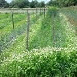 Seed, Organic, Cover Crop, Buckwheat