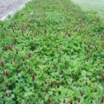 Seed, Organic, Cover Crop, Crimson Clover