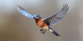 bluebird_in_flight