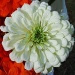 Seed, Zinnia, Benary's Giants White