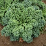 Seed, Organic, Kale, Vates Curly