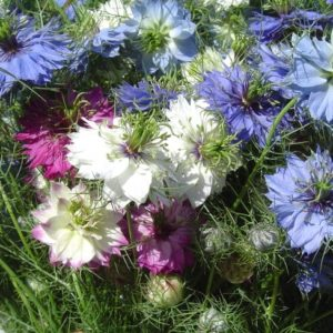 Seed, Love-in-a-Mist , Albion Mix