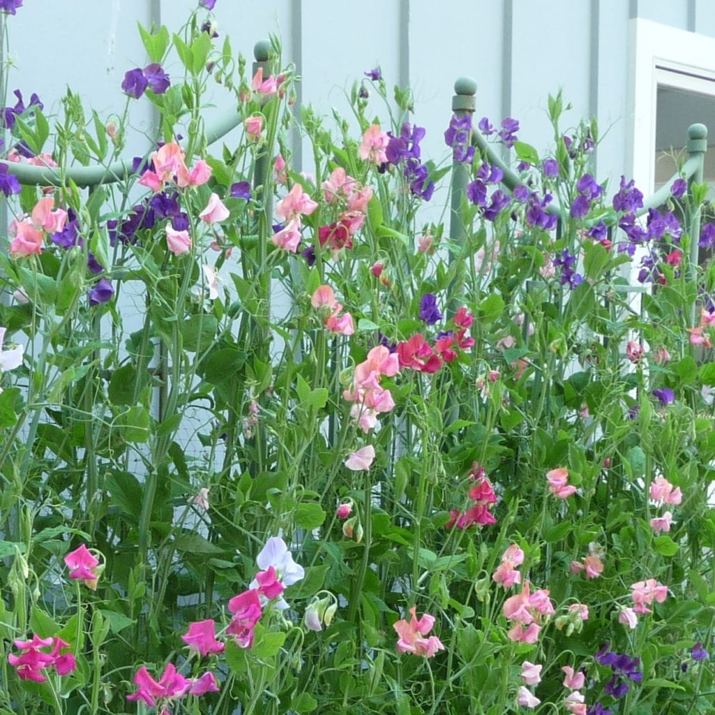 Sweet Pea & Vine Seeds