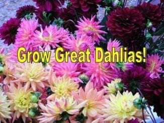 1 Grow Great Dahlias