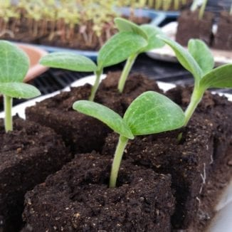 "Squash seedlings just getting started in 2"" soil blocks--really low-budget plants!"