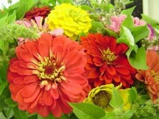 Beanry's Giant Zinnias and Basil