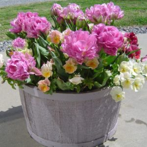 This hardy annual container is loaded with tulip bulbs--the unexpected gifts come fall to spring!