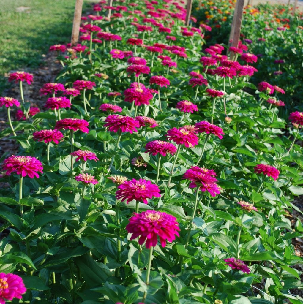 Uproar Zinnias Are Very Productive!